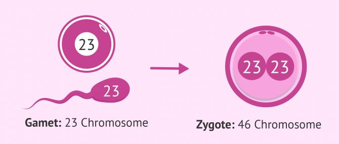 Imagen: Chromosome Gamete Zygote