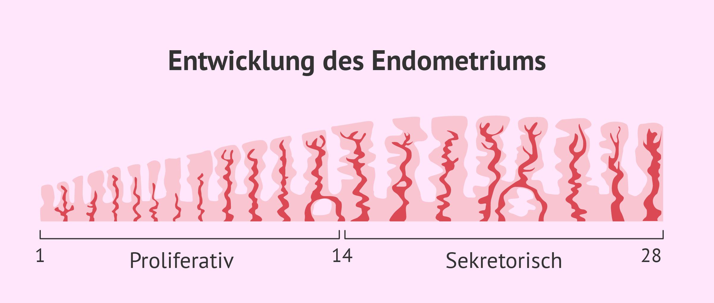 Aufbau der Gebärmutterschleimhaut