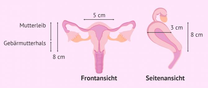 Imagen: Maße einer normalen Gebärmutter
