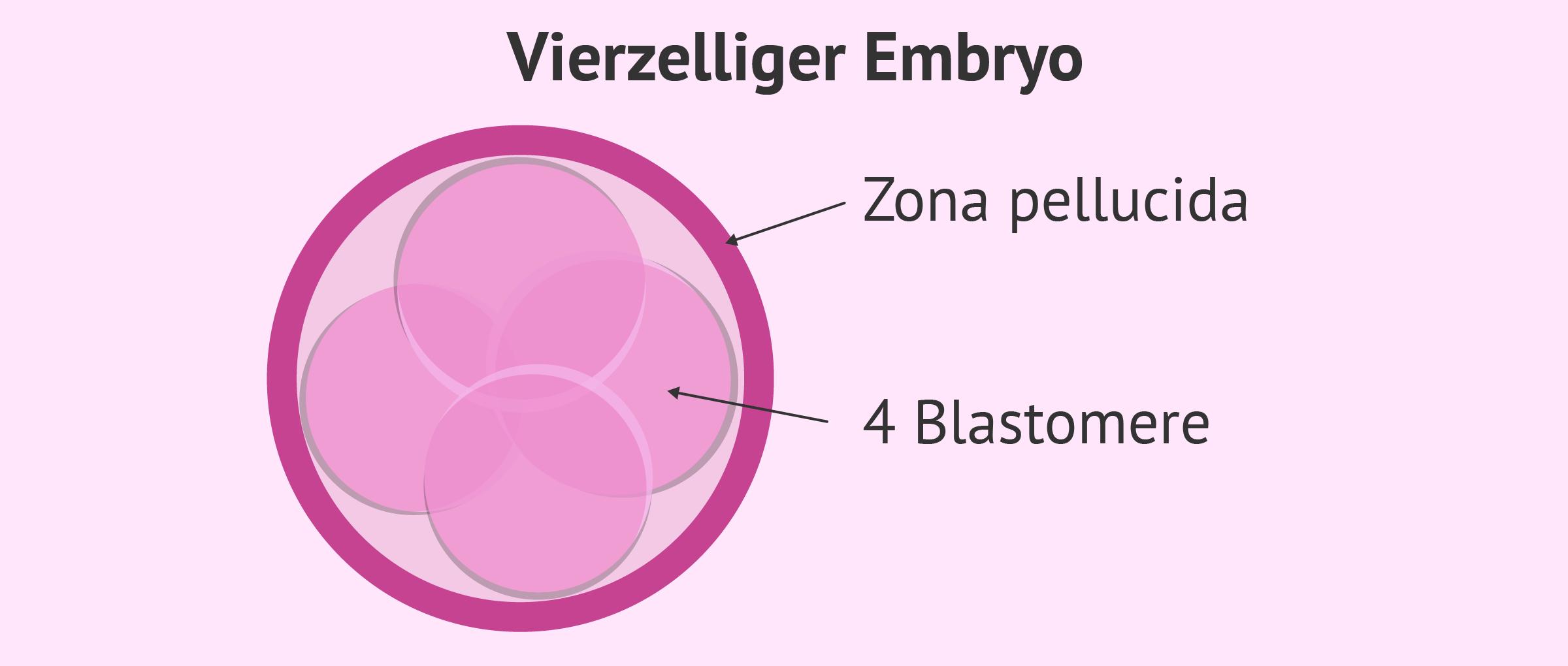 Embryostadium: Vierzelliger Embryo