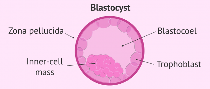 Imagen: Blastocyst