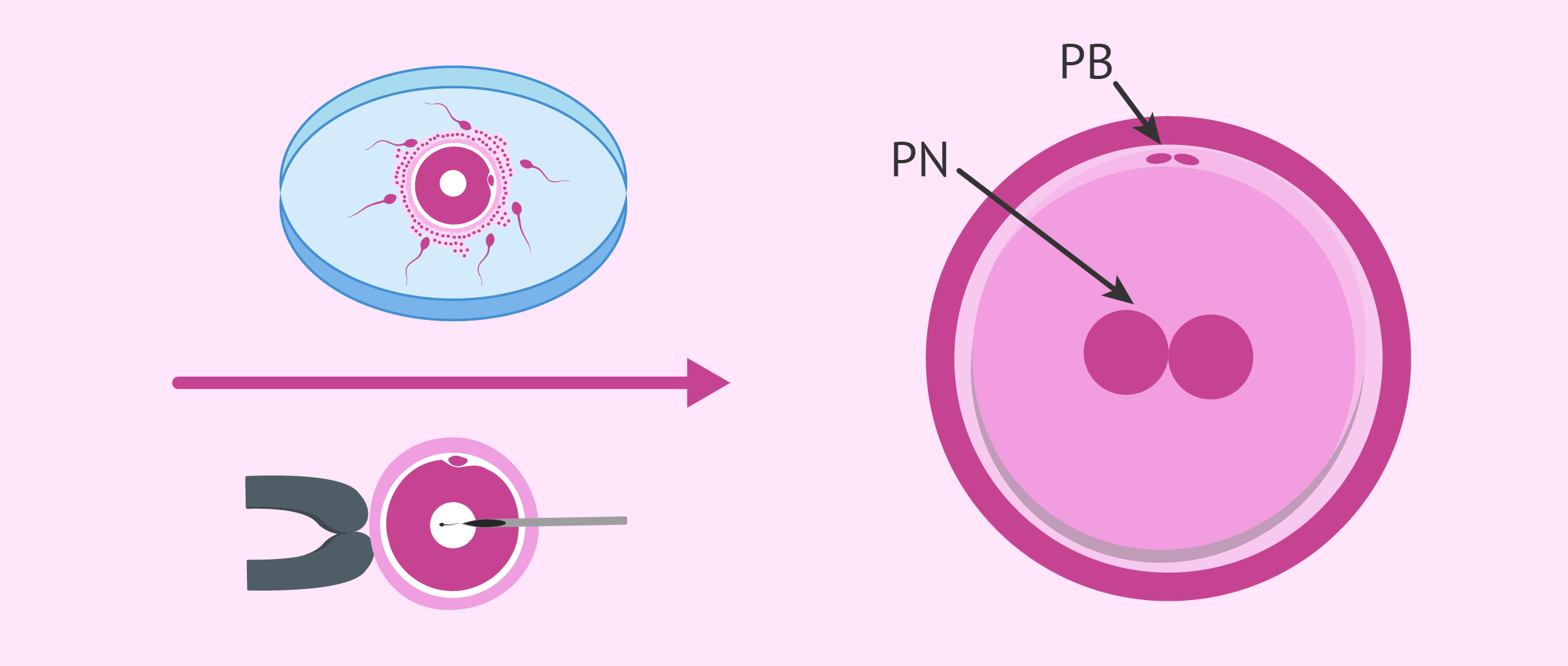 In vitro embryo culture and development