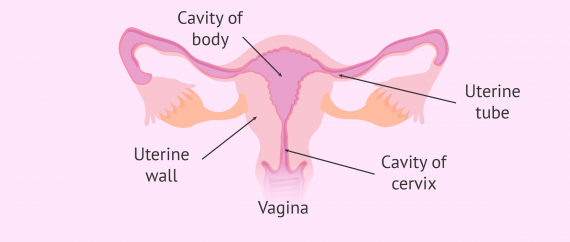 Labelled picture of a healthy uterus