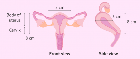 Normal size of the uterus