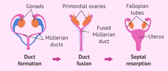 Development of female sex organs