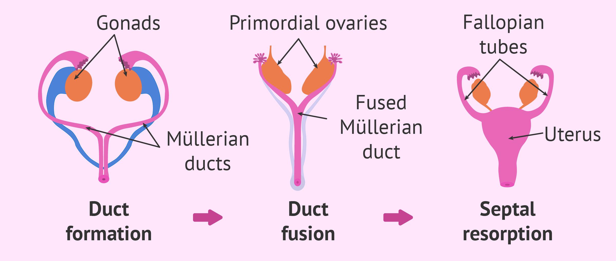Development of female sex organs