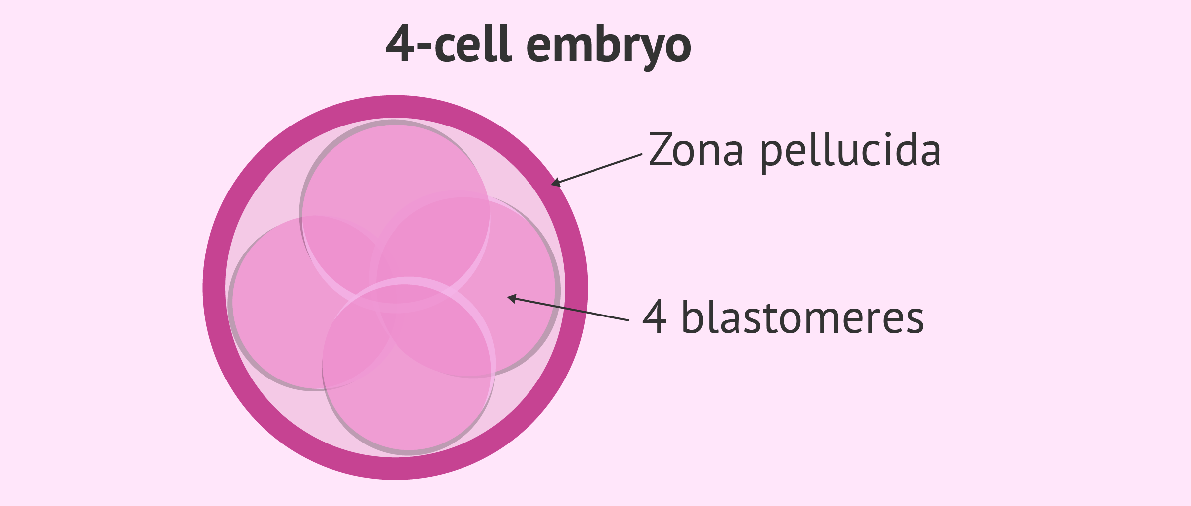 Embryonic stage: 4-cell embryo