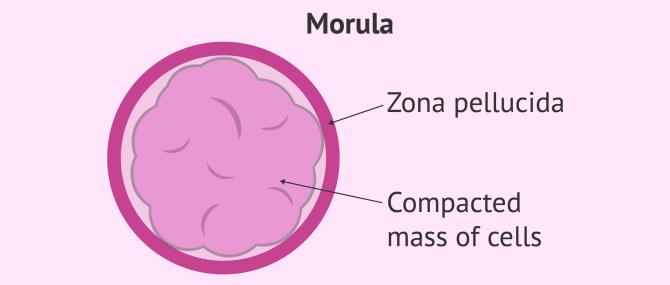 Imagen: compacted morula