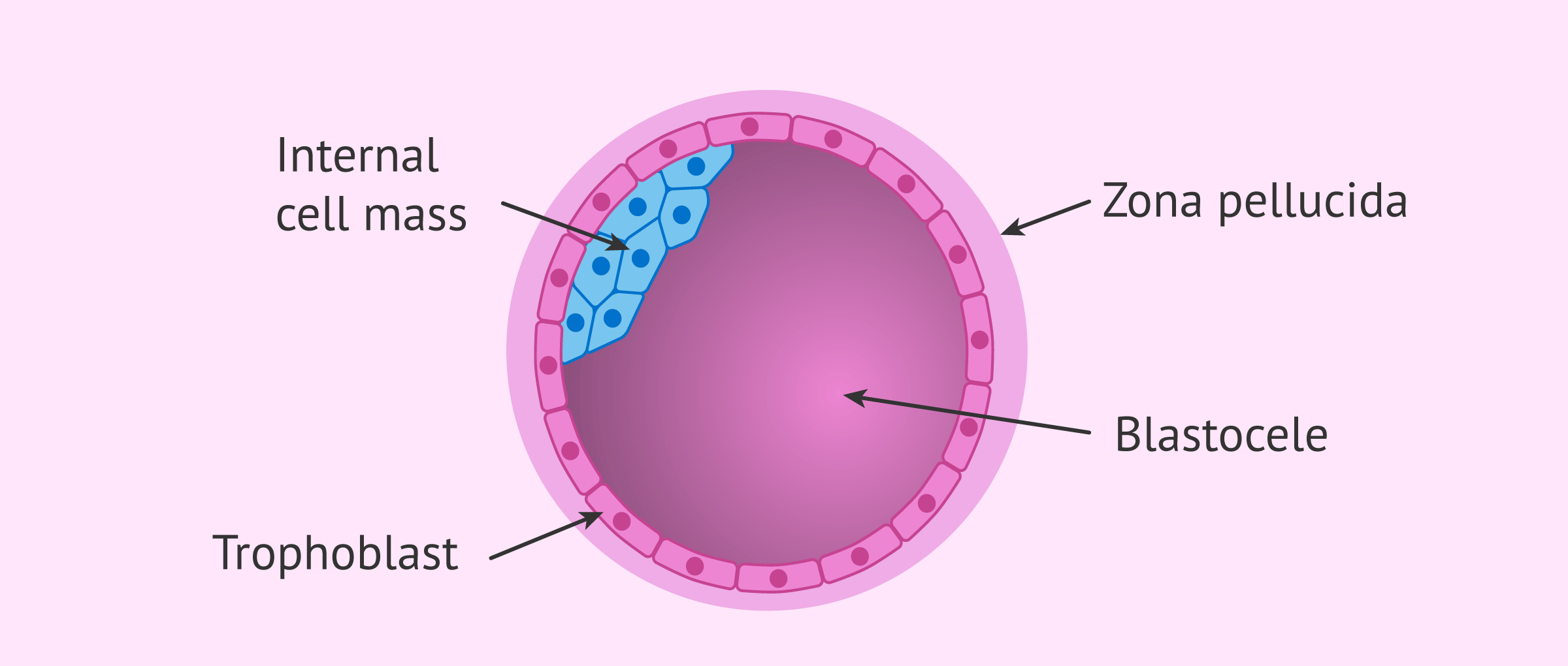 Structure of embryo in the blastocyst stage