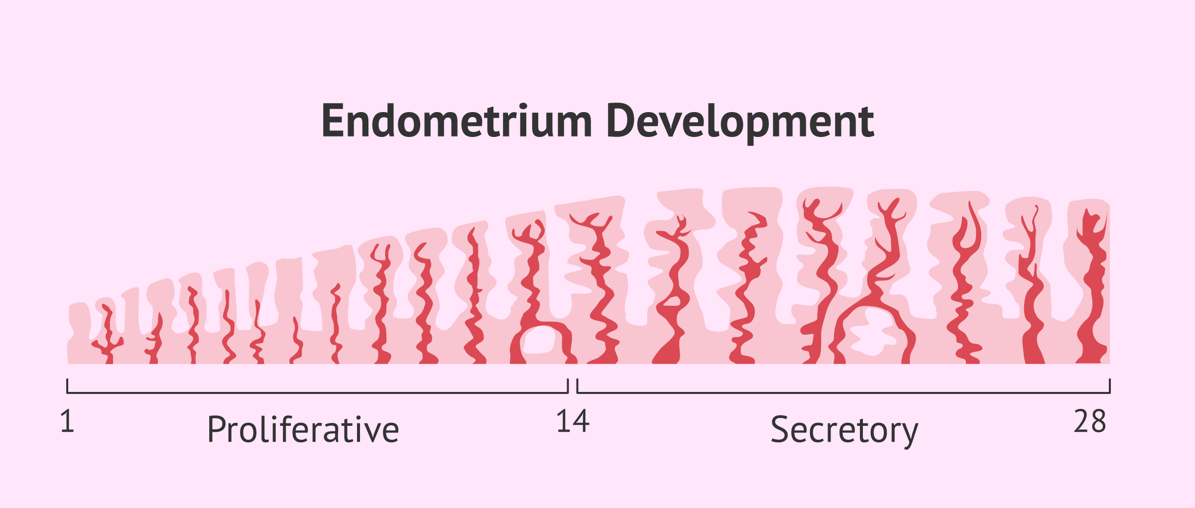Endometrium Preparation for Embryo Transfer: How does it work?