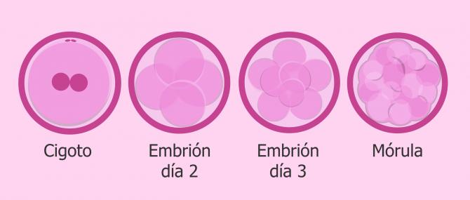 Primeras etapas del desarrollo del embrión