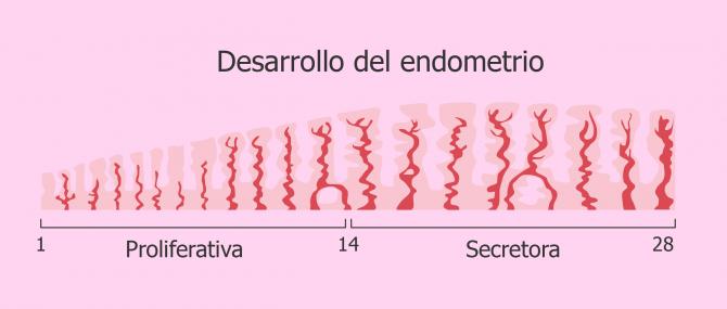Crecimiento del endometrio