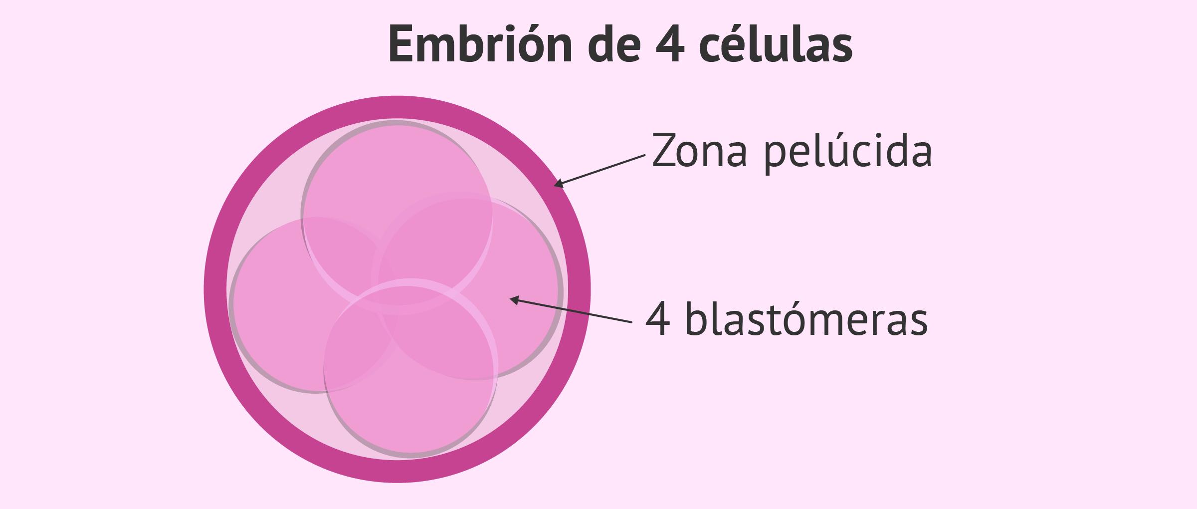 Estadio embrionario: embrión con 4 células