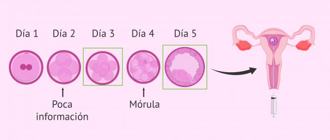 Imagen: Mejor día para transferir embriones
