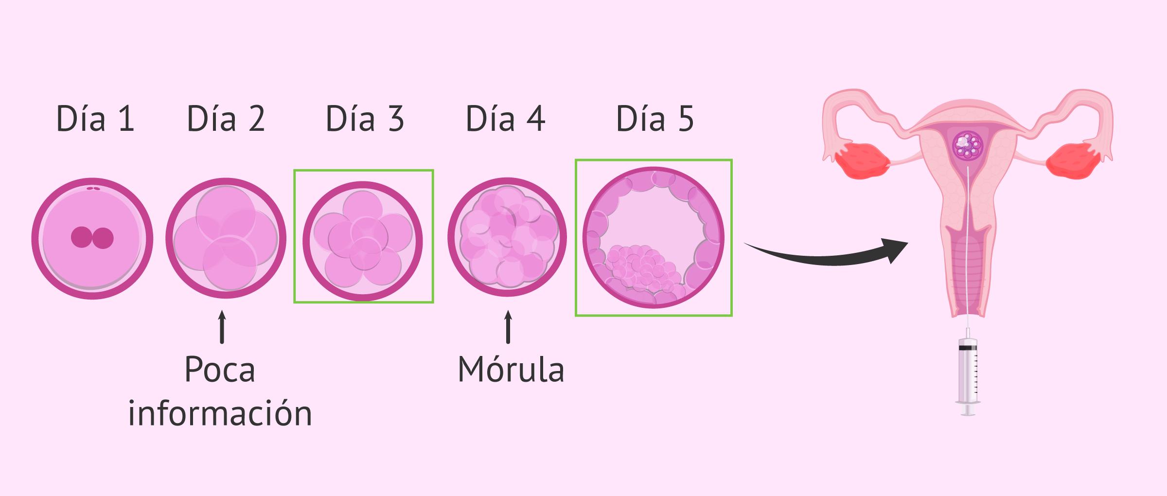 Mejor día para transferir embriones