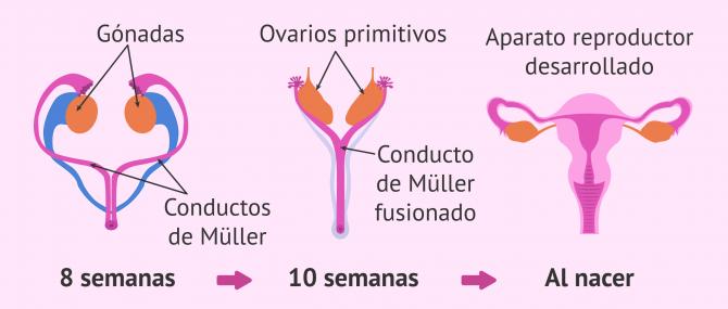 Diferenciación órganos sexuales femeninos