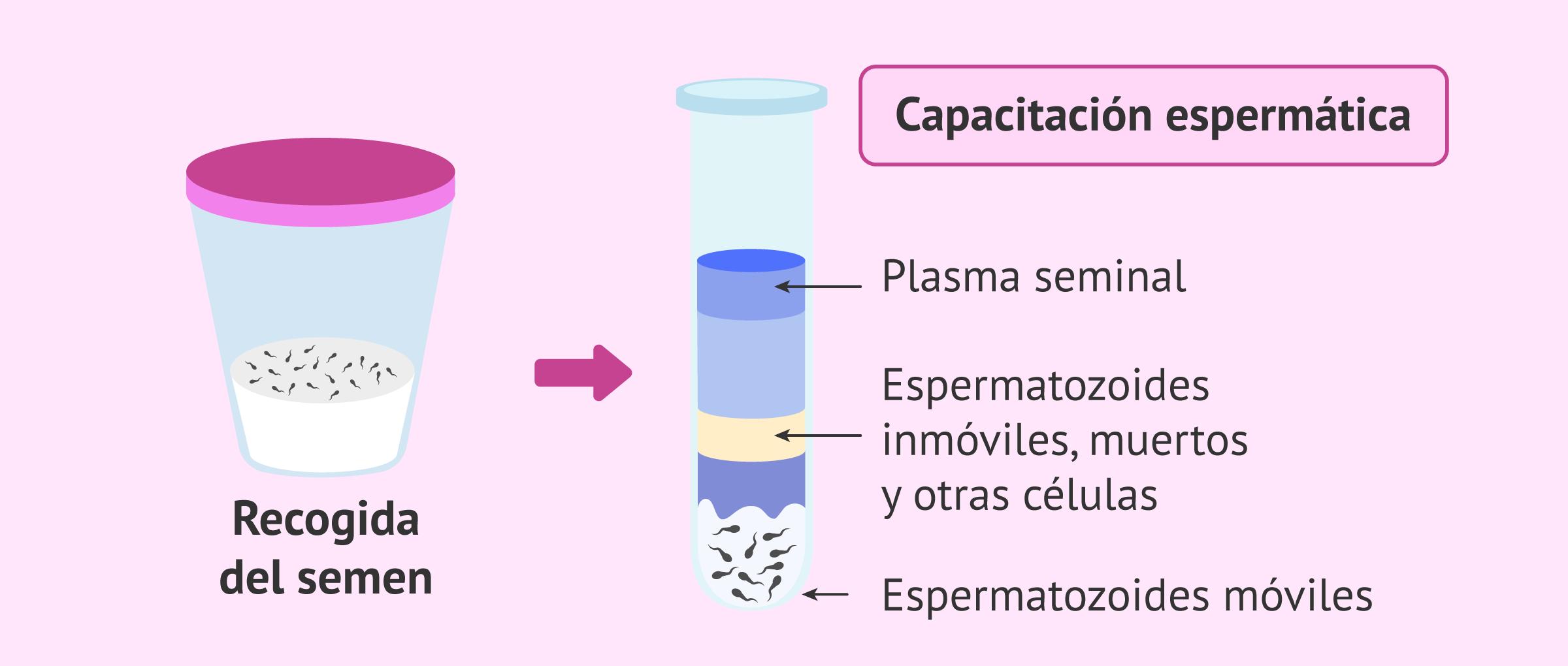 Proceso de capacitación espermática