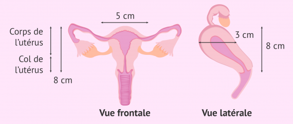 Mesures de l'utérus normal