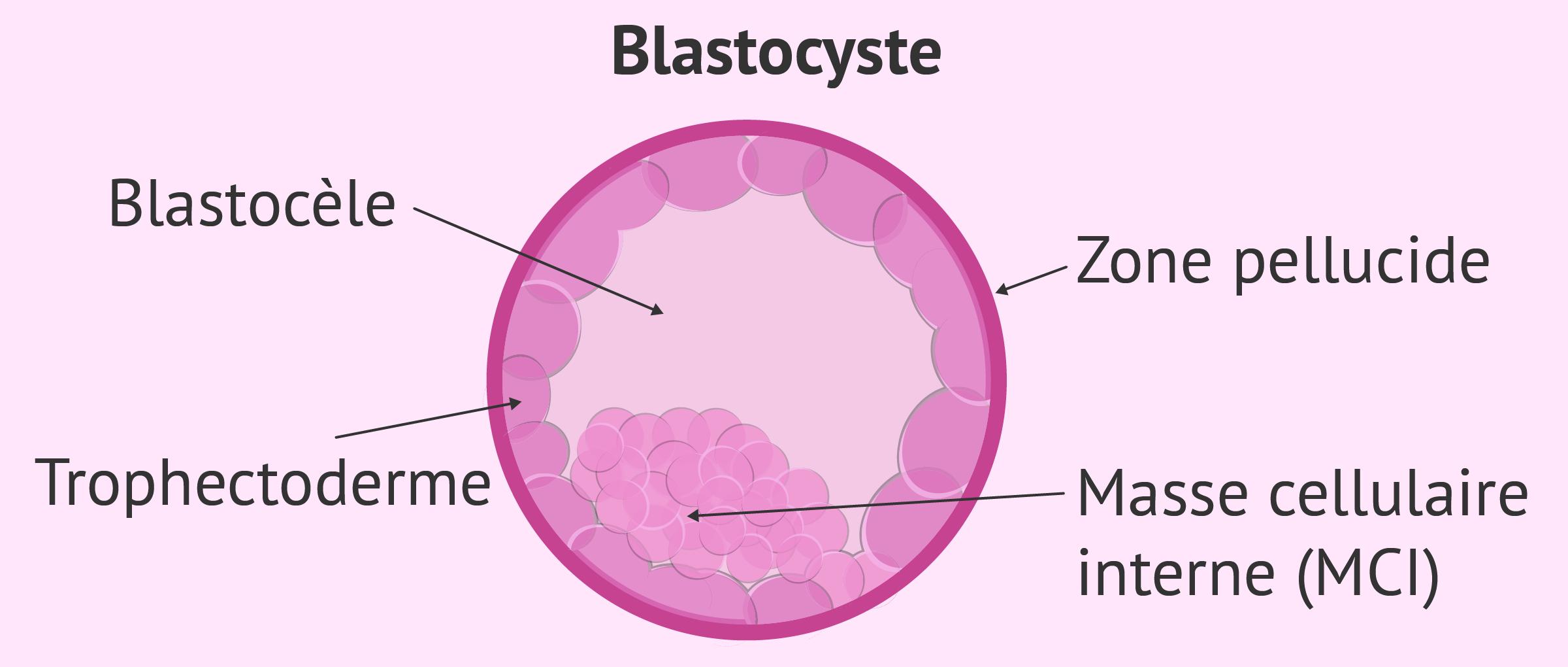 Stade embryonnaire : blastocyste