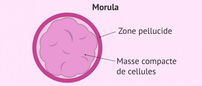 Imagen: morula compacte