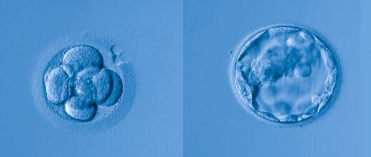 Embryons à J3 et J5
