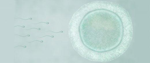 Fécondation de l'ovocyte