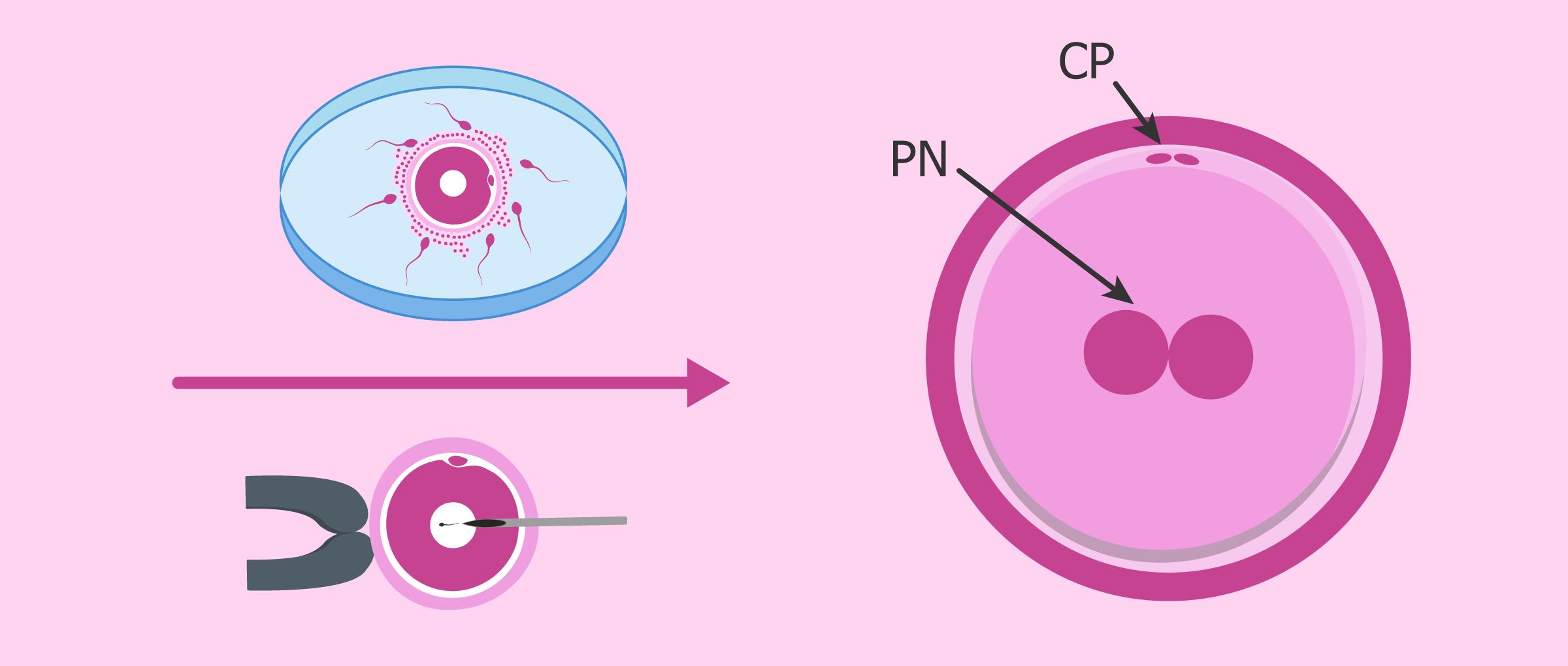 Embryon au jour 1: le zygote