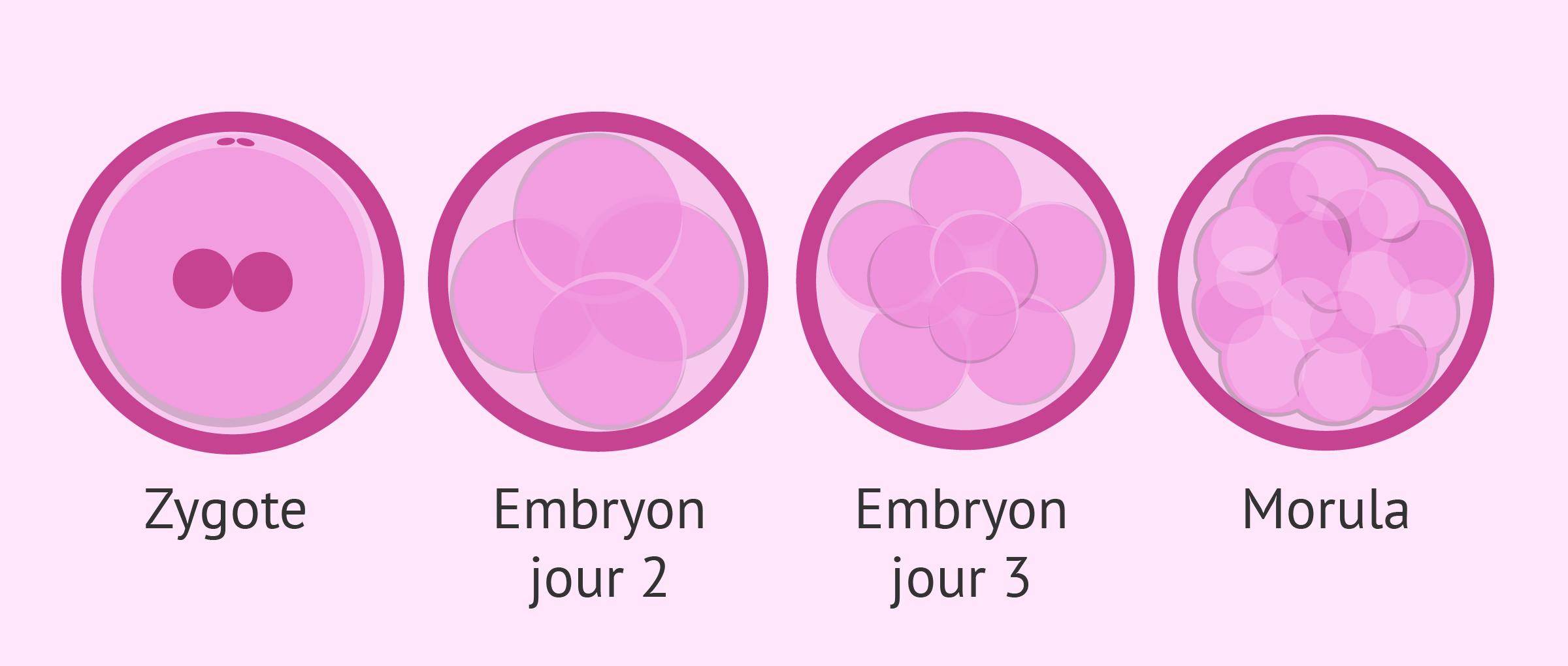 """Culture et développement embryonnaire """"in vitro"""""""