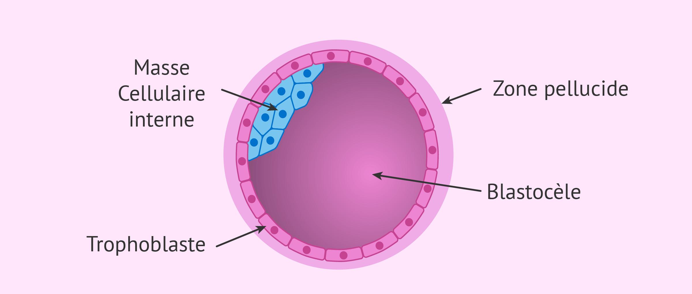 Structure de l'embryon au stade de blastocyste