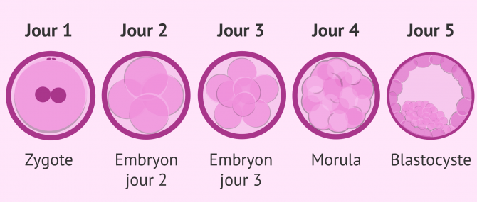 Imagen: Développement embryonnaire
